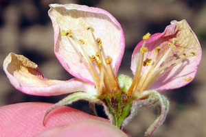Assessing frost and freeze damage to flowers and buds of fruit trees