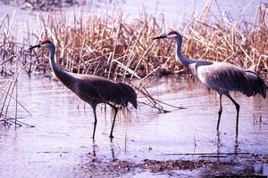 Sandhill crane crop damage program offered April 18 in Escanaba
