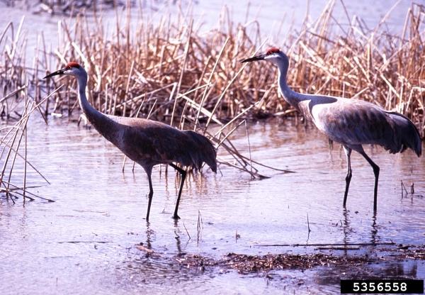 Sandhill Crane National Wildlife Federation >> Sandhill Crane Crop Damage Program Offered April 18 In Escanaba