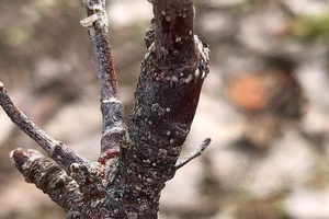 San Jose Scale crawler emergence beginning in Michigan tree fruit