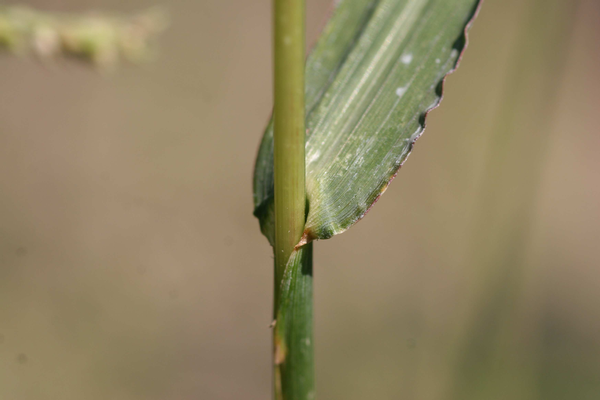 Barnyardgrass stem