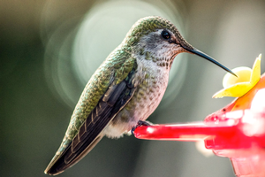 Visit the Bird Sanctuary for a Hummingbird banding demonstration