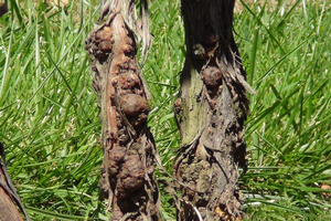 Managing grapevine crown gall