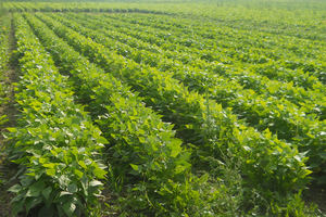 Weed control considerations before planting dry edible beans