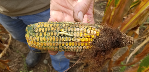 Corn Mycotoxin Management