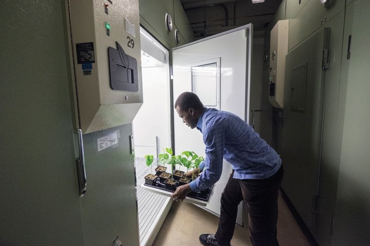 Isaac Osei-Bonsu tends to young bean plants.