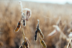 Closeup of a soybean plant