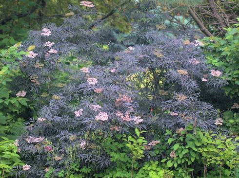 A purple leafed variety of elderberry foliage with white florets