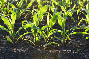 Corn growing in soil