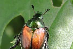 Adult Japanese beetle. All photos by Erin Lizotte, MSU Extension.