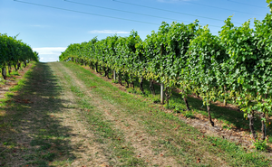 Michigan grape scouting report – Aug. 19, 2020