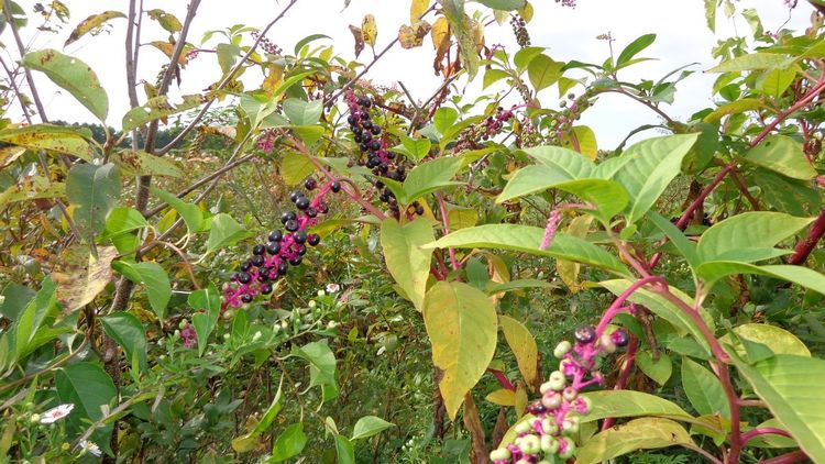 Pokeweed. All photos by Ron Goldy, MSU Extension.