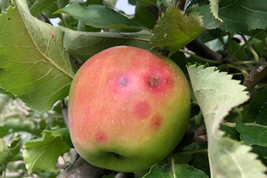 East Michigan fruit update – Sept. 16, 2020