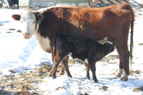 Calf nursing