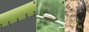 Asparagus beetles: Where are they overwintering?