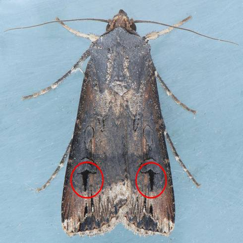 Look for an overall dark appearance on black cutworm moths, as well as two daggers on the back portion of the front wing. Photo: Mark Dreiling, Bugwood.org.