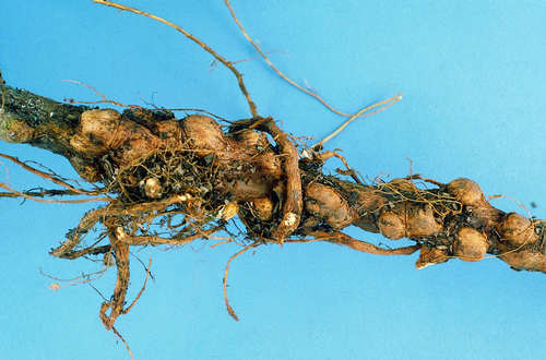 Nodules form on the woody parts of trees and roots.