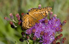 Butterfly on a Missouri ironweed