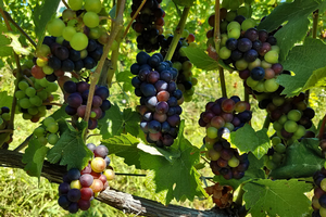 Michigan grape scouting report – Aug. 26, 2020