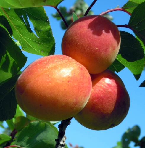 These three ripe apricots indicate that harvest is well underway. Photo credit: Mark Longstroth, MSU Extension