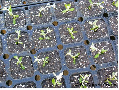Figure 1. Providing too much moisture during unrooted vegetative cutting propagation often results in waterlogged propagation substrates. All photos by W. Garrett Owen, MSU Extension.