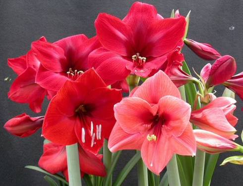 growing amaryllis a favorite holiday plant msu extension