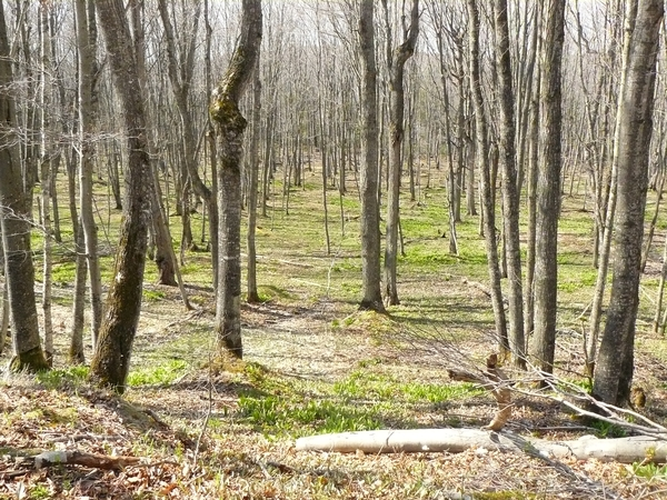An unmanaged northern hardwood stand with an absence of regeneration. Photo credit: Bill Cook l MSU Extension