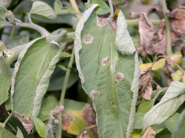 Photo 1. Late blight lesions on tomato foliage. All photos by Mary Hausbeck, MSU