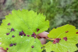 MSU vineyard IPM scouting report – June 19, 2019