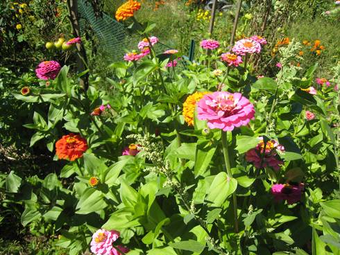 Zinnias in a Michigan garden. Photo by Joy Landis, MSU IPM Program.