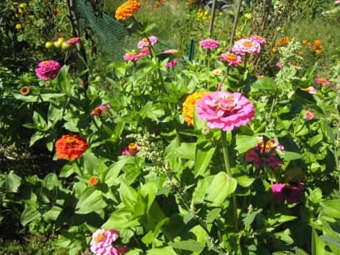 Zinnias In A Michigan Garden Photo By Joy Landis Msu Ipm Program