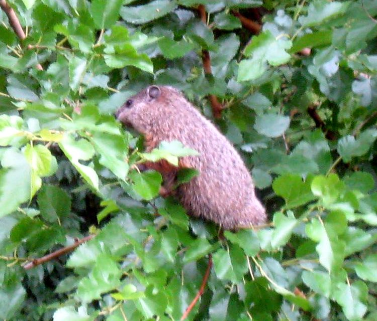 Woodchuck snacking in a mulberry tree. Photo credit: Carl Welser