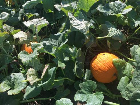Orange pumpkins are fully mature and will not grow any larger. Keep these pumpkins shaded, or harvest and store them. Photo: Marissa Schuh, MSU Extension.