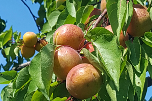 Apricots have begun to ripen and harvest.