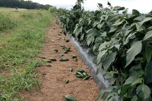Southwest Michigan vegetable update – Aug. 19, 2020
