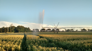 Irrigated Wheat in St. Joseph County on June 16. Note the thunderstorms moving across northern Indiana in the background. Photo by Bruce MacKellar, MSU Extension.