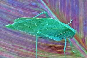 Michigan insects in the garden – Week 12: Katydids