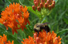 Bee on a butterfly weed.
