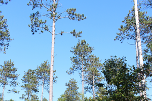 MSU researchers receive $500k grant to study use of pine plantations to promote oak forests