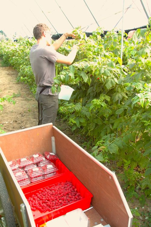 Raspberries being harvested. Harvesting early and often—along with using effective insecticides—can help minimize fruit infestation by SWD in raspberry plantings. Photo by Rufus Isaacs, MSU Entomology.