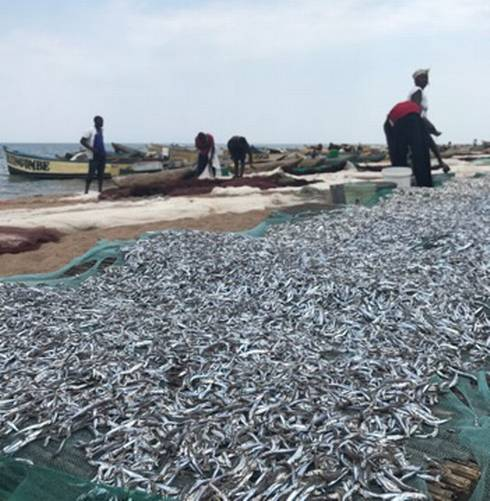 Gathering fish on a beach in Malawi
