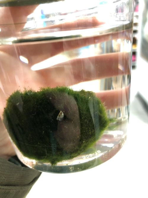 hand holding glass with moss ball inside. Moss ball contains one zebra mussel on it.