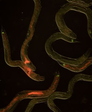 Todd Ciche discovered how bacteria in nematodes can switch from beneficial to deadly.