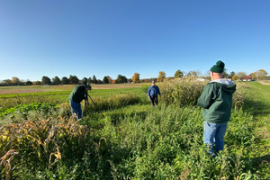 Using the sorghum family as both cover crop and forage