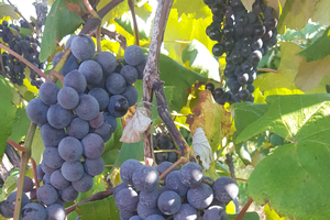 Southwest Michigan fruit update – Sept. 10, 2019