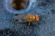 Spotted wing Drosophila adult