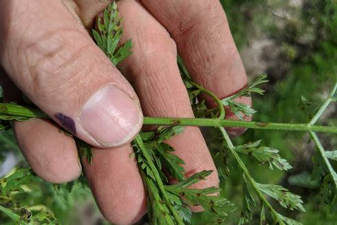 Petiole lesions on carrots