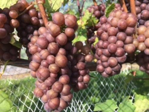 Pinot Gris awaiting harvest in northern Michigan. Photo by Thomas Todaro, MSU Extension.