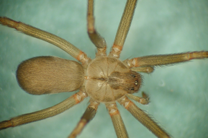 Don't panic over brown recluse spiders in Michigan