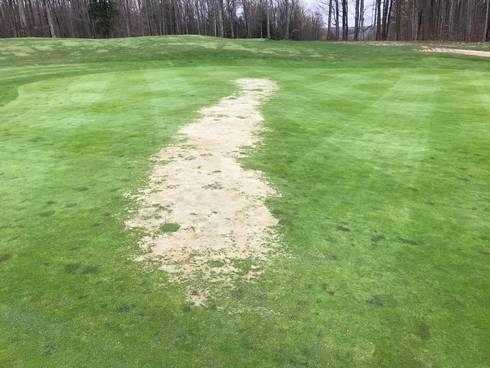 Winterkill on a ridge-line on a putting green.